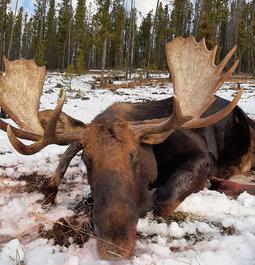 Alberta Moose - 2019