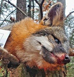 The brave gray fox