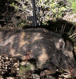 Large boar w/ the 350 Legend