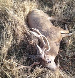 500+ yard mule deer buck
