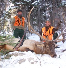 Elk - Helena National Forest